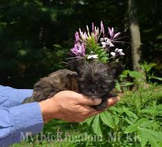 affenpinscher adults for sale world u0027s smallest chinese crested and mi ki puppies dogs for sale
