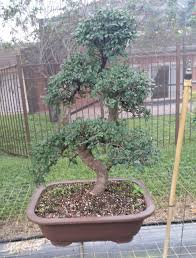 japanese elm bonsai buy bonsai trees directly from local artists