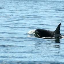 Washington wildlife tours images Whale orca tours in anacortes washington usa today jpg