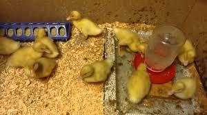 how to raise baby ducks in your backyard ep 5 baby duck water