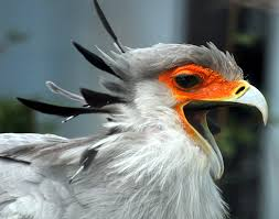 file secretary bird open beak jpg wikimedia commons