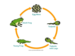 life cycle of a frog my storybook