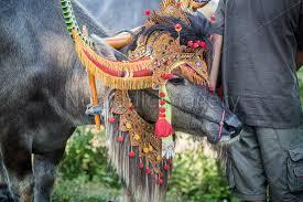 makepung buffalo races in bali
