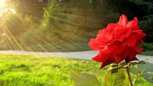 The Month Of June Flower - june u0027s flower rose u0026 honeysuckle susan brady