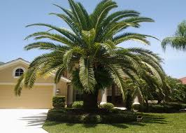 canary palm trees for sale fort myers