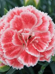 dianthus flower dianthus coral reef bluestone perennials
