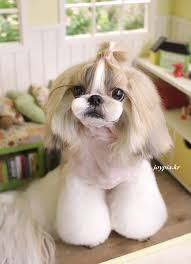 joypia yorkshire haircuts 55 best shih tzu grooming images on pinterest hair cut shih