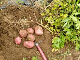 Bag Gardening Vegetables by Harvesting And Storing Potatoes From Your Own Home Garden The