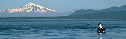 Washington wildlife tours images Whale wildlife watching san juan islands washington visitors jpg