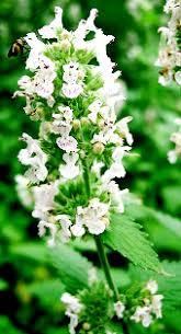 Catnip Flower - wyrtig nepeta cataria