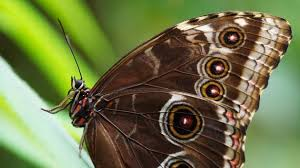 myths symbolism and meaning of brown butterflies