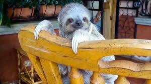 orphan baby sloths learn to climb on rocking chairs