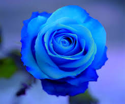 blue roses blue kabloom flowers