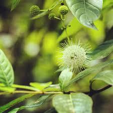 fl native plants buttonbush one of the florida native plants i love