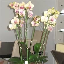 buy an orchid orchid specialist london orchid flowering plants buy online