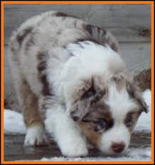 miniature australian shepherd 8 weeks ghost eye mini aussie avail litter 2 pup3 jessie red merlei male
