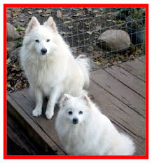 how big is american eskimo dog heart bandits american eskimo dog rescue