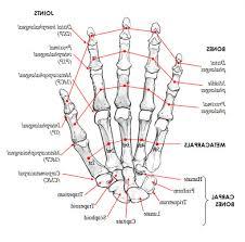 Diagram Of Knee Anatomy Diagram Hand Bones Anatomy 7 Best Images Of Hand And Arm Human