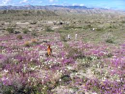 anza borrego wildflowers anza borrego anza borrego wildflowers