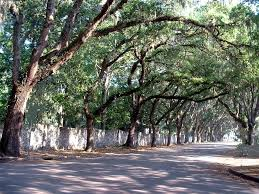 tree covered in historic st augustine florida http