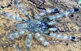 salem ornamental tarantula t s