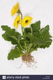 gerbera plant gerbera plant with yellow flowers leaves and roots exposed to