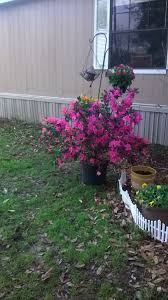 when to prune native plants how to prune azaleas 8 steps with pictures wikihow
