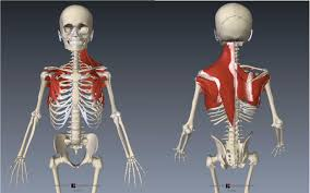 Anatomy Of The Shoulder Girdle Functional Anatomy For Sports And Cycling