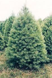 white pine trees white pine forest for the trees evergreen garden