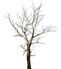 dead dried oak tree isolated on white stock image image of
