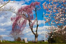 pink weeping willow tree photograph by kirkodd photography of
