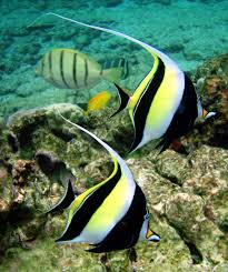 aquarium fish reconsidering the moorish idol advanced aquarist