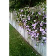 34 best trumpet vine images on trumpet vines and gardens