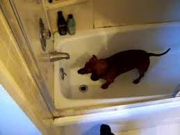 Dogs In The Bathtub Weiner Dog Freaks Out In The Bathtub Youtube