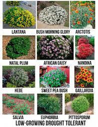 Flowering Shrubs That Like Full Sun - drought tolerant flowering shrubs for san diego gardening