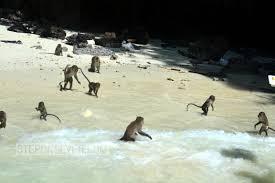 monkey beach phi phi islands phi phi islands thailand