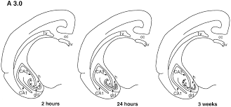 neurogenesis in the dentate gyrus of the tree shrew is