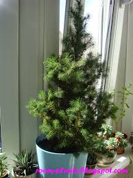 plant u0027s the soul of your flat a spruce in a pot how to grow the