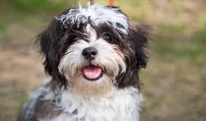 shih tzu with curly hair shih tzu dog breed information