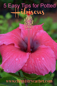 407 best hibiscus images on pinterest hibiscus flowers tropical