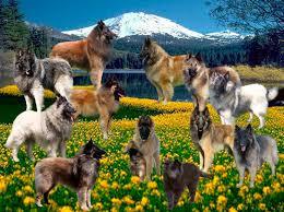 belgian sheepdog breeders ontario roberson belgians