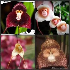 monkey orchid hot selling peru monkey orchid seeds potted flower seeds