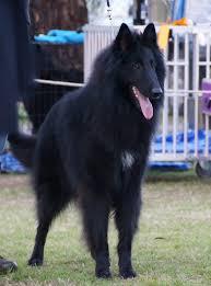 belgian shepherd dog club of canada jimi u2013 beljekali