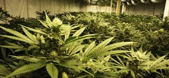 growing up with the harvest oregon pot entrepreneur ready for the