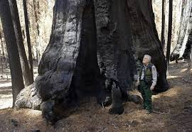 California Wildfires Hume Lake by After 99 Days Of Rough Fire Sequoia National Forest Shows New