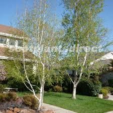pot grown ornamental trees scotplants direct
