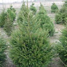 spruce steven