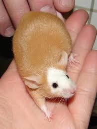 Are Mice Blind Best 25 Pet Mice Ideas On Pinterest Diy Gerbil Toys Gerbil And