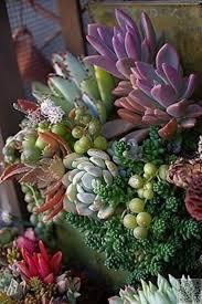 25 best succulent arrangements images on pinterest succulent