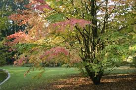 katsura tree seedling front of storage shed clear cut place